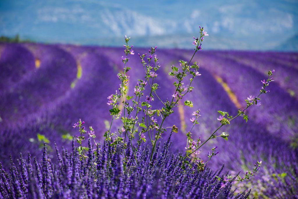 matkahaave: ranskan laventeripellot